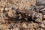 Northern dune tiger beetle (Cicindela hybrida)